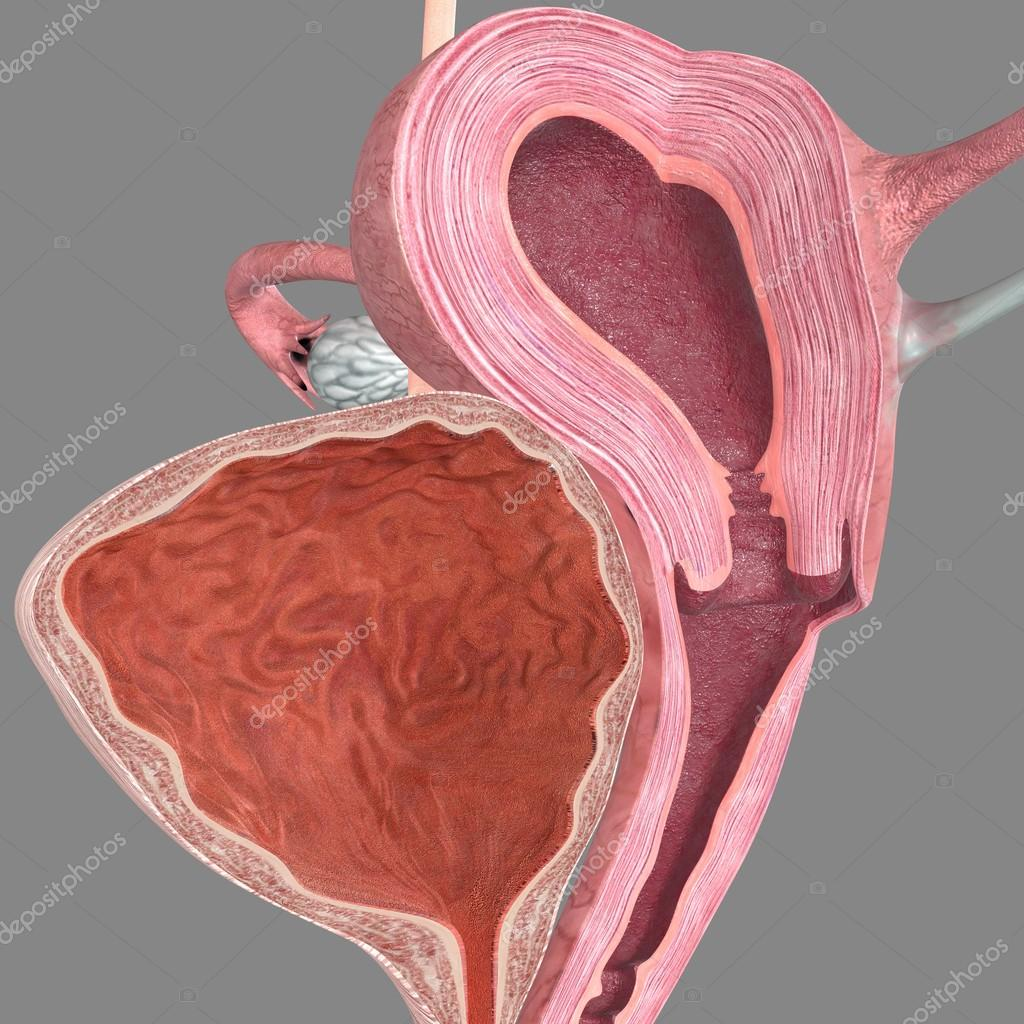 Intersection of ovary anatomy — Stock Photo © sciencepics #75127099
