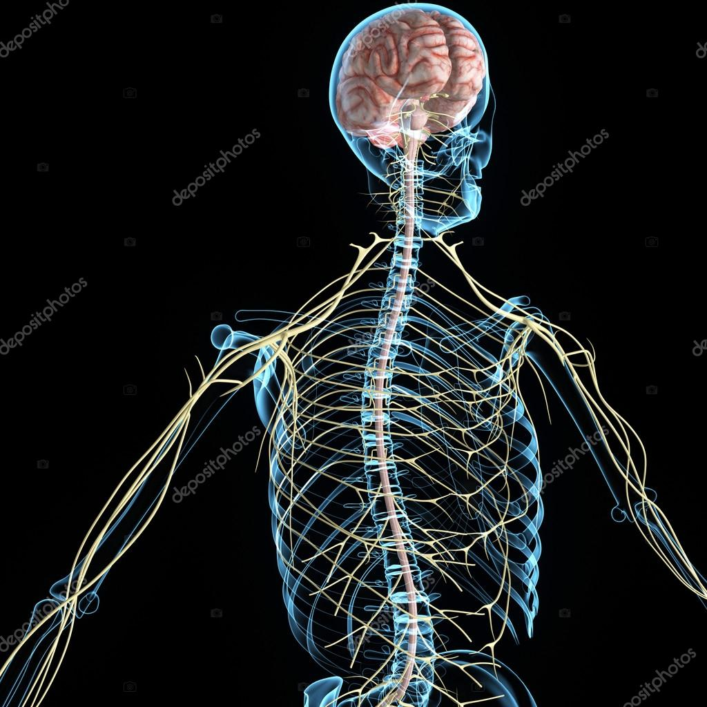 Anatomie des menschlichen Nervensystems — Stockfoto © sciencepics ...