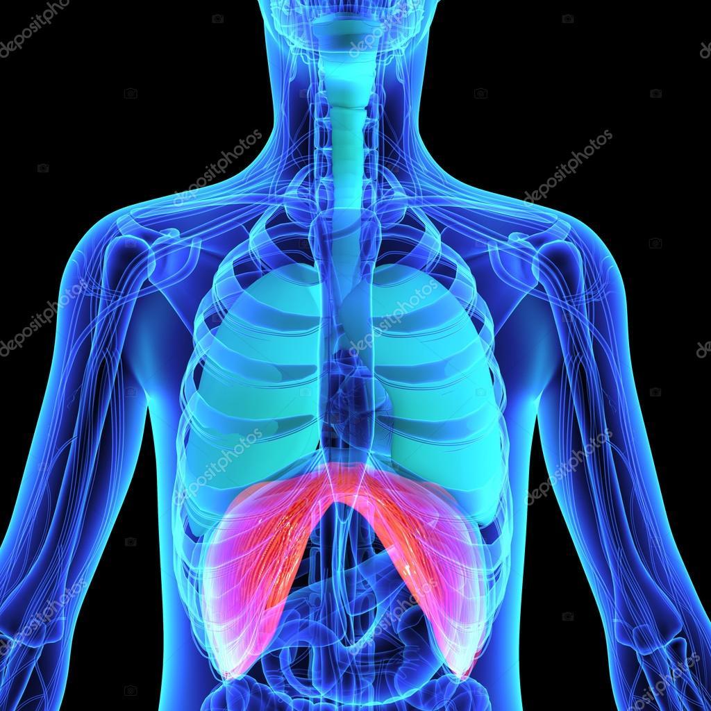 Anatomía diafragma humano — Foto de stock © sciencepics #75127689