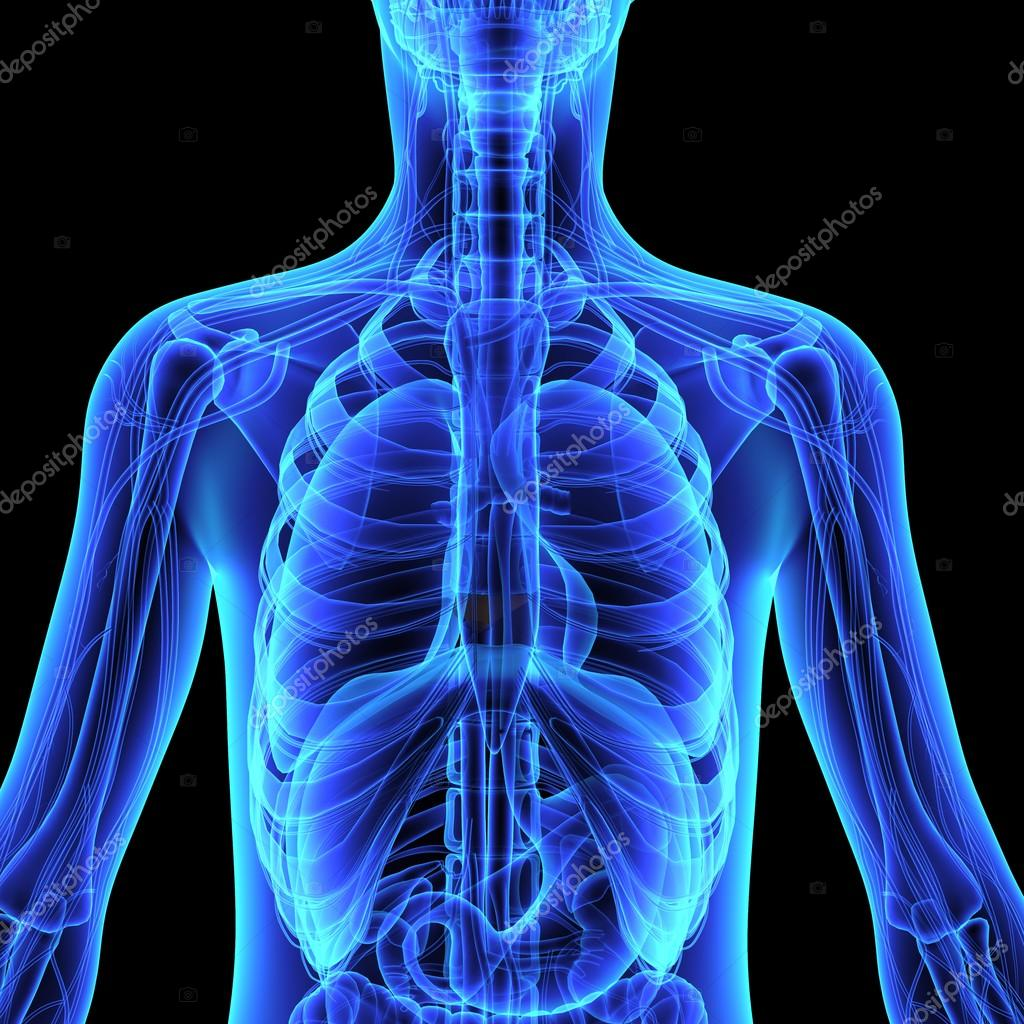 Human organism anatomy — Stock Photo © sciencepics #75127691