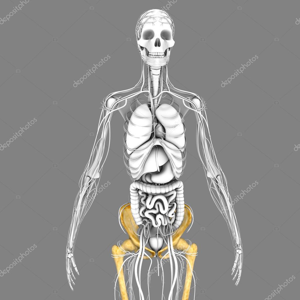 Menschliches Skelett Anatomie — Stockfoto © sciencepics #75127763