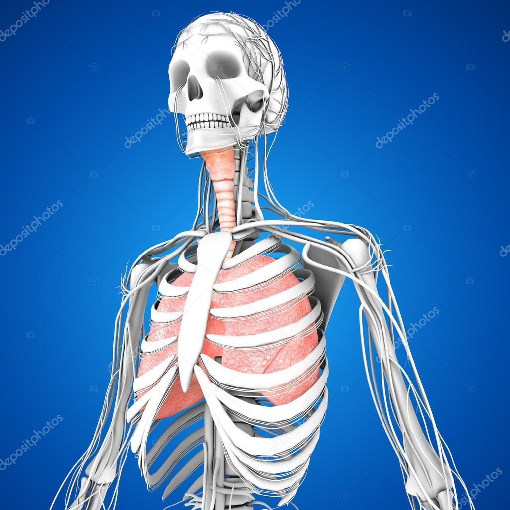 Anatomie der menschlichen Lunge — Stockfoto © sciencepics #75127789