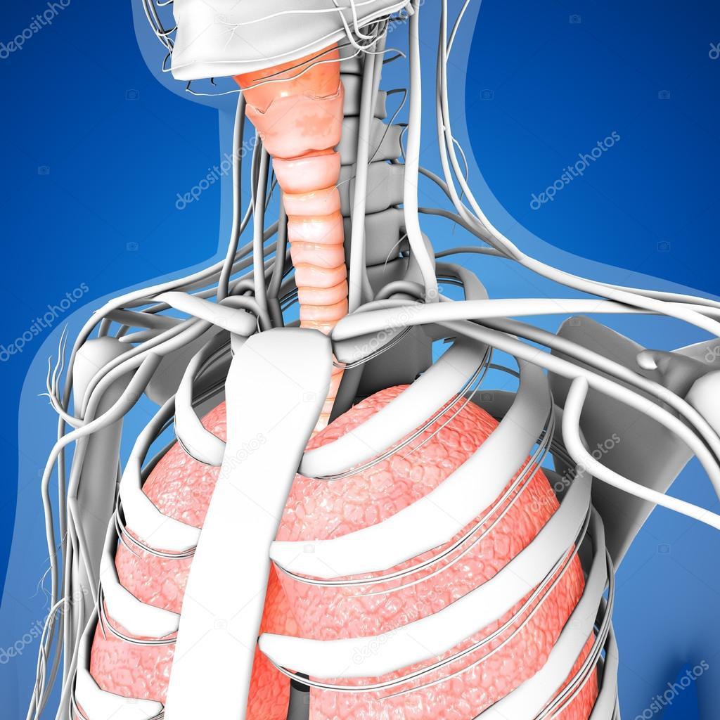 Human Lungs Anatomy Stock Photo Sciencepics 75127845