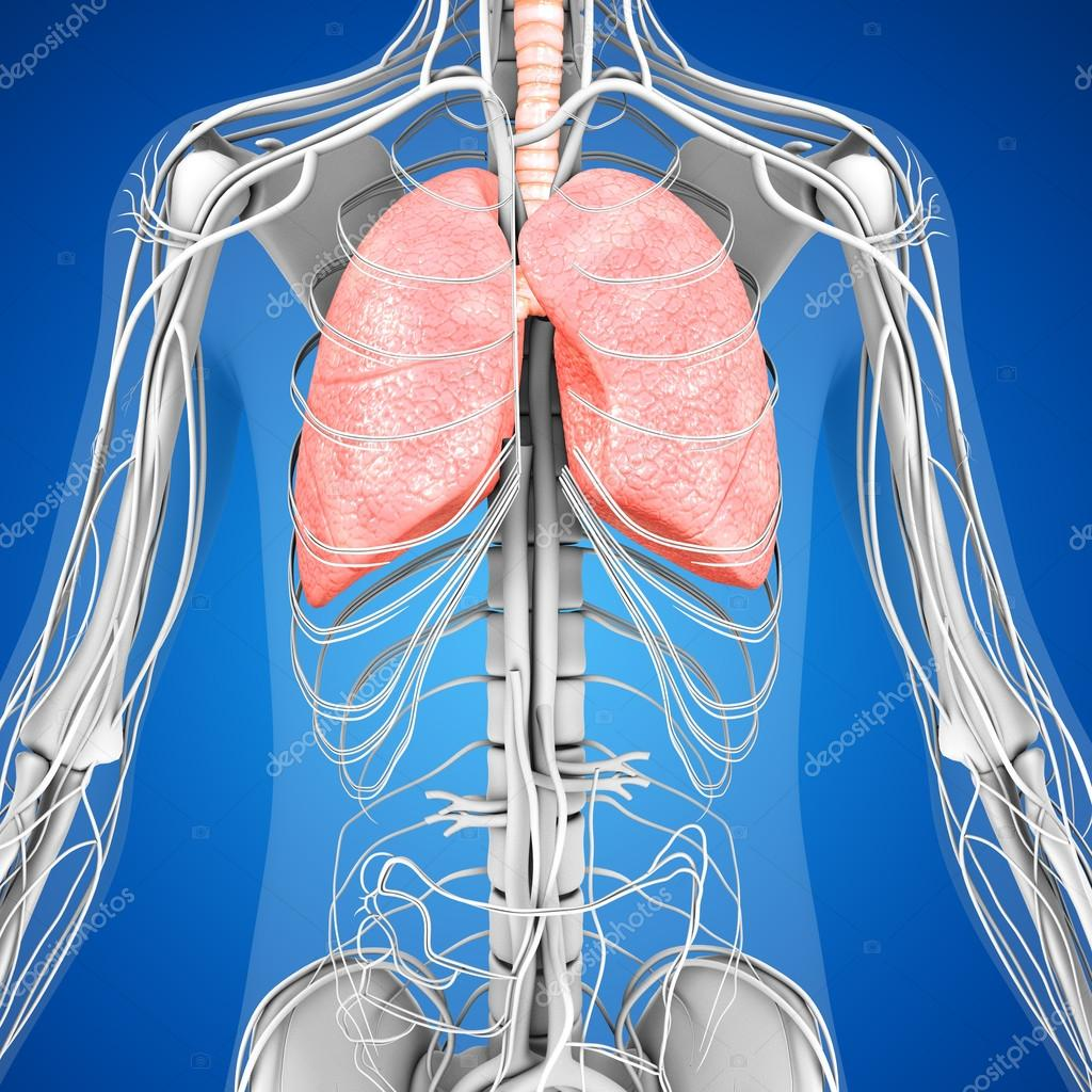 Human Lungs Anatomy Stock Photo Sciencepics 75127859