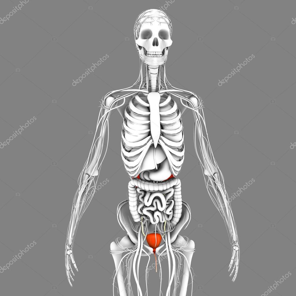 Anatomía de la vejiga humana — Fotos de Stock © sciencepics #75128073