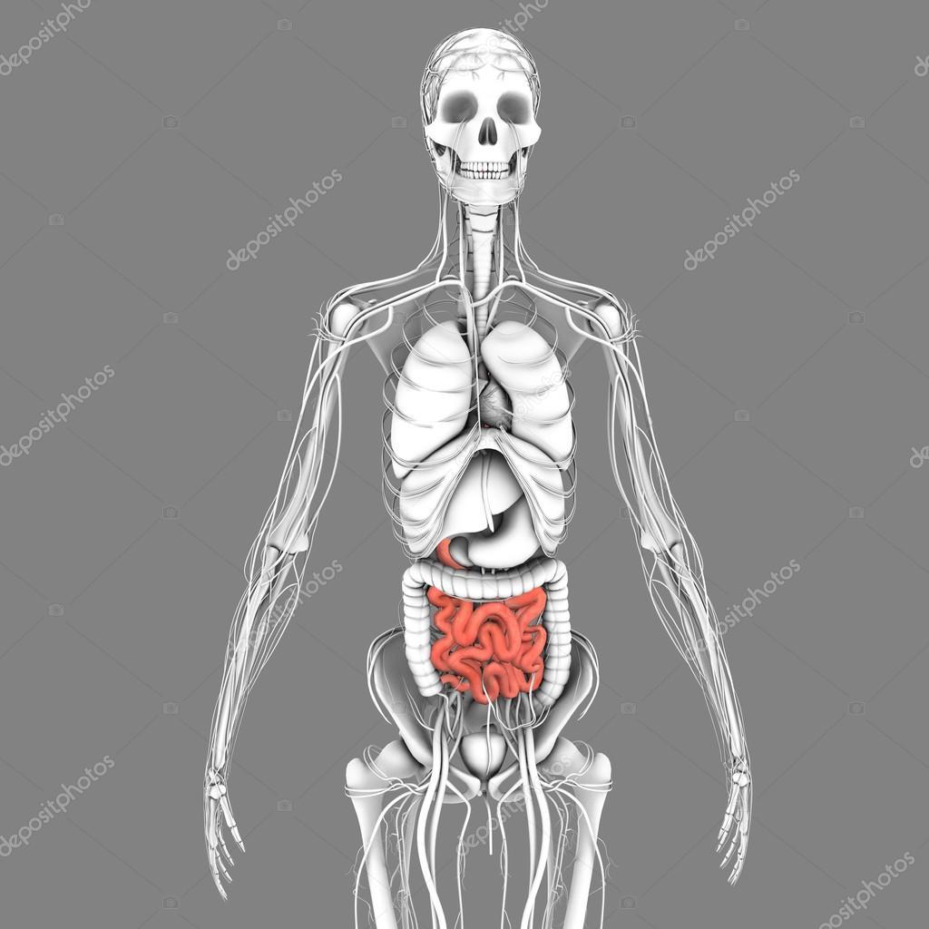 Anatomía del intestino delgado — Fotos de Stock © sciencepics #75128085