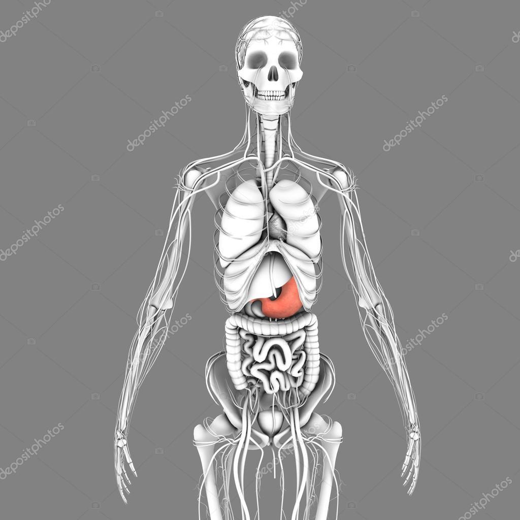 Anatomía del estómago humano — Fotos de Stock © sciencepics #75128093