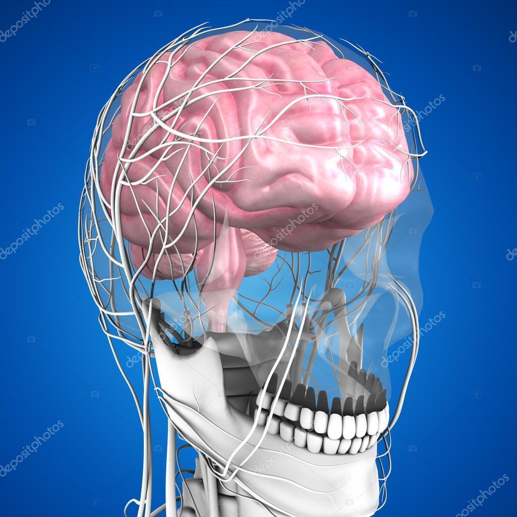 Anatomía del cerebro humano — Foto de stock © sciencepics #75128505