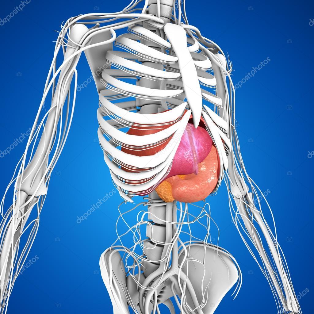Anatomie der menschlichen Organen — Stockfoto © sciencepics #75128511