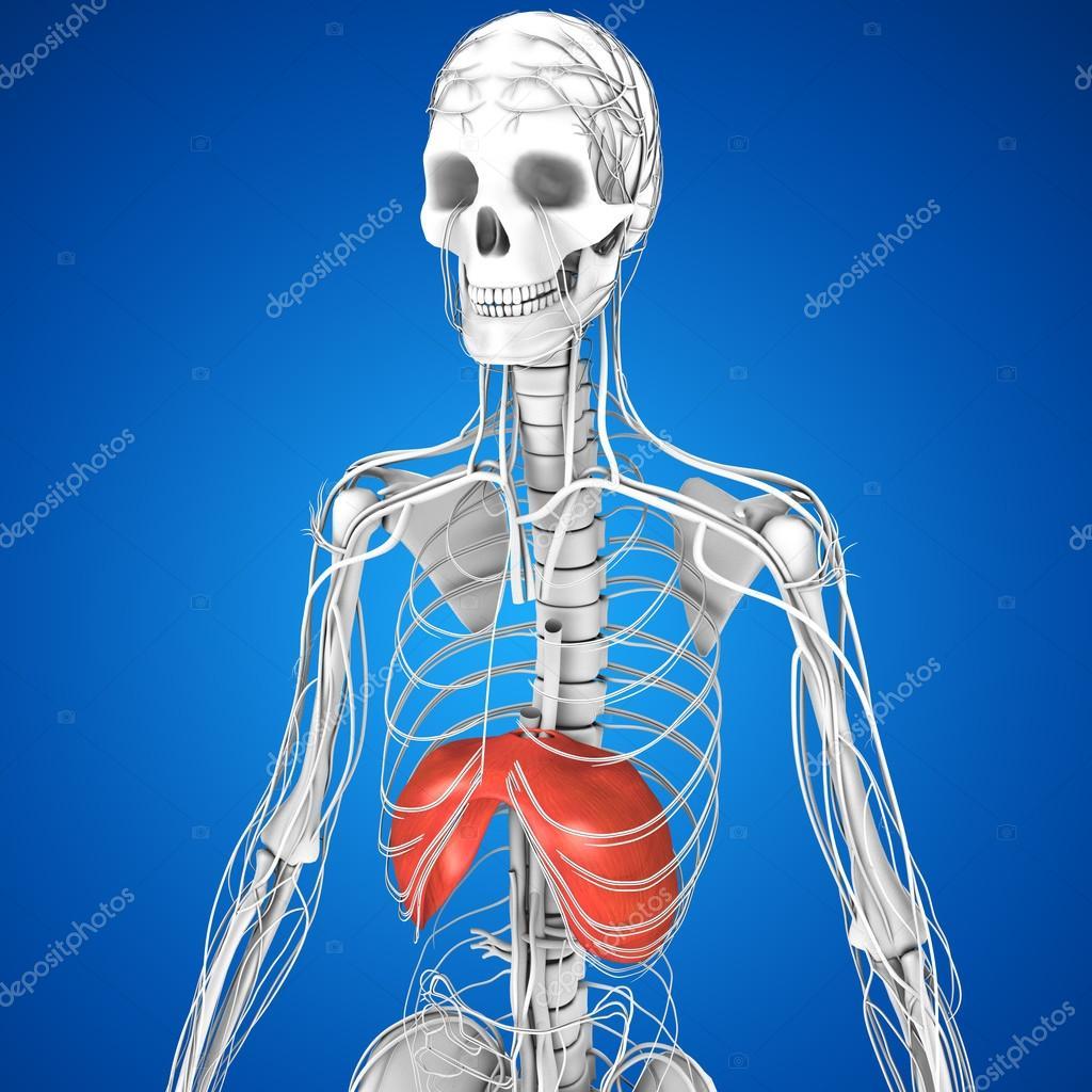 Anatomía diafragma humano — Foto de stock © sciencepics #75128515