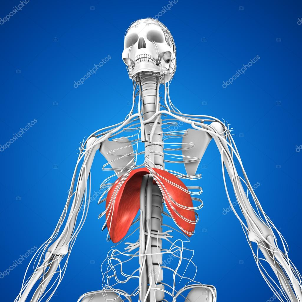 Anatomía diafragma humano — Fotos de Stock © sciencepics #75128517