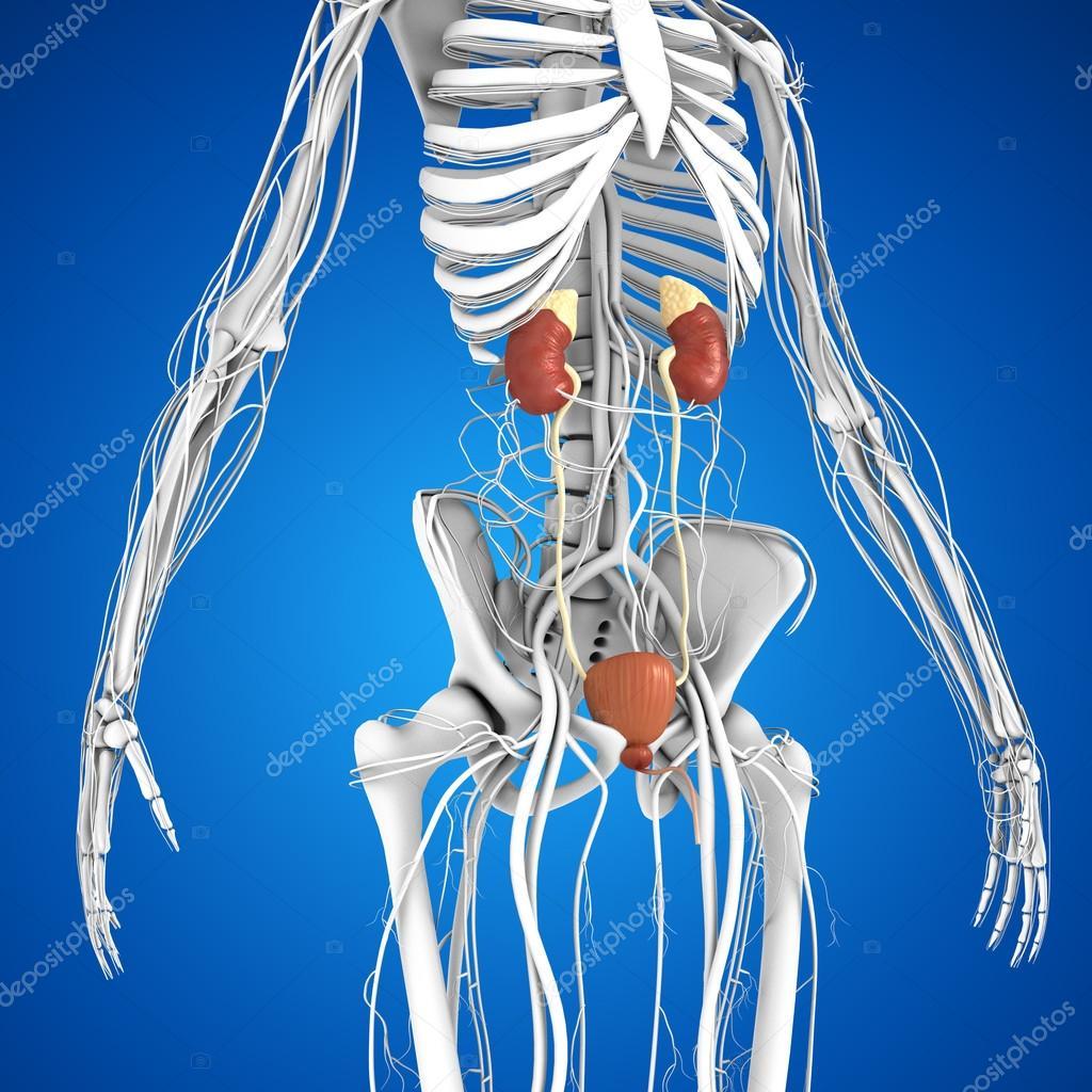 Human Kidneys Anatomy Stock Photo Sciencepics 75128615