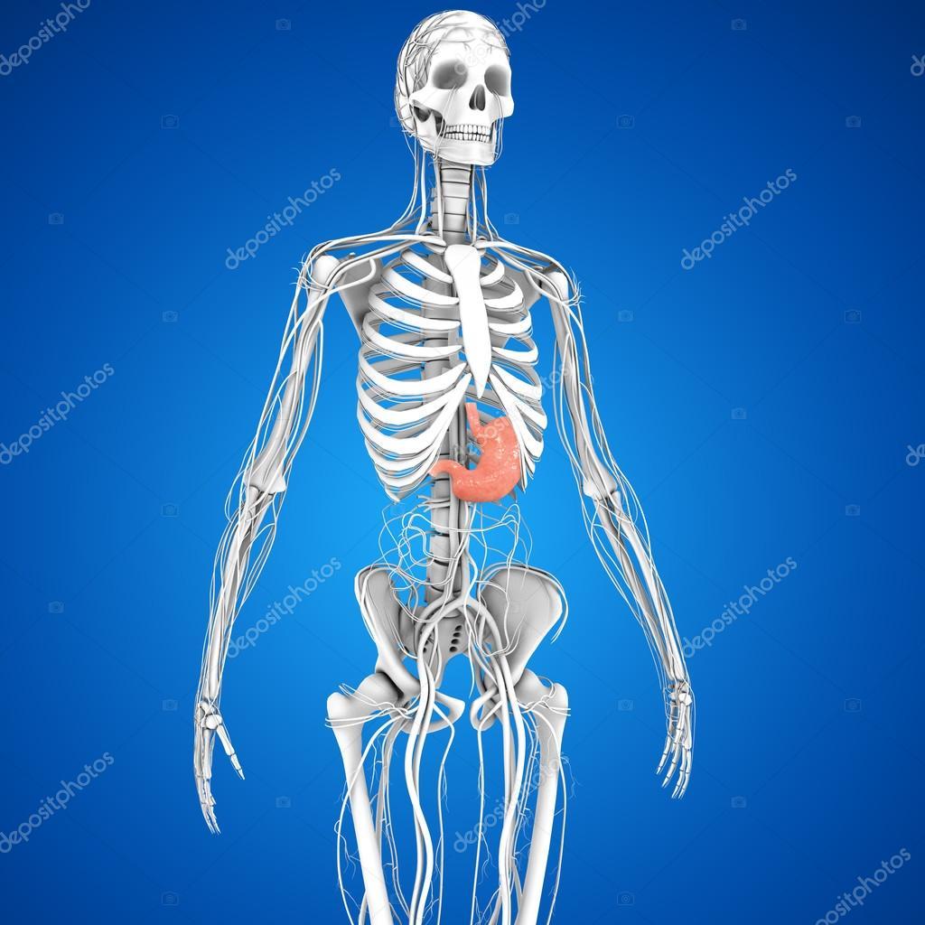 Anatomía del estómago humano — Foto de stock © sciencepics #75128619