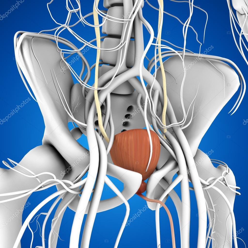 Anatomie der menschlichen Blase — Stockfoto © sciencepics #75128625
