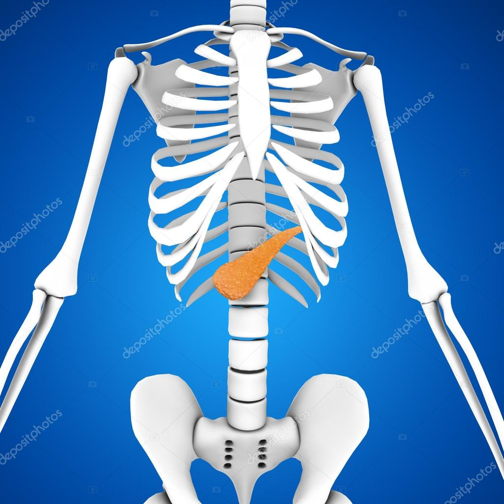 Human Pancreas Anatomy Stock Photo Sciencepics 75128661