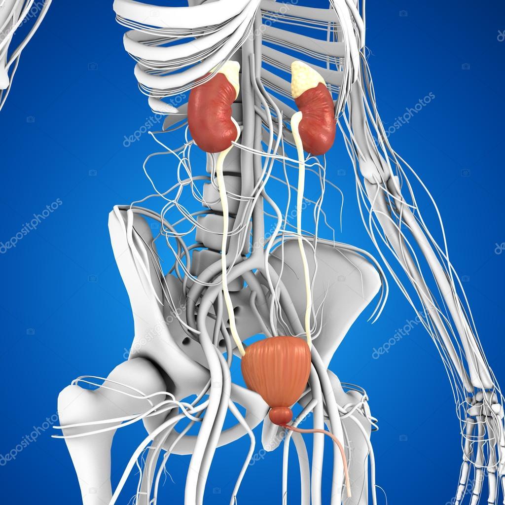 Anatomía de los riñones humanos — Foto de stock © sciencepics #75128681