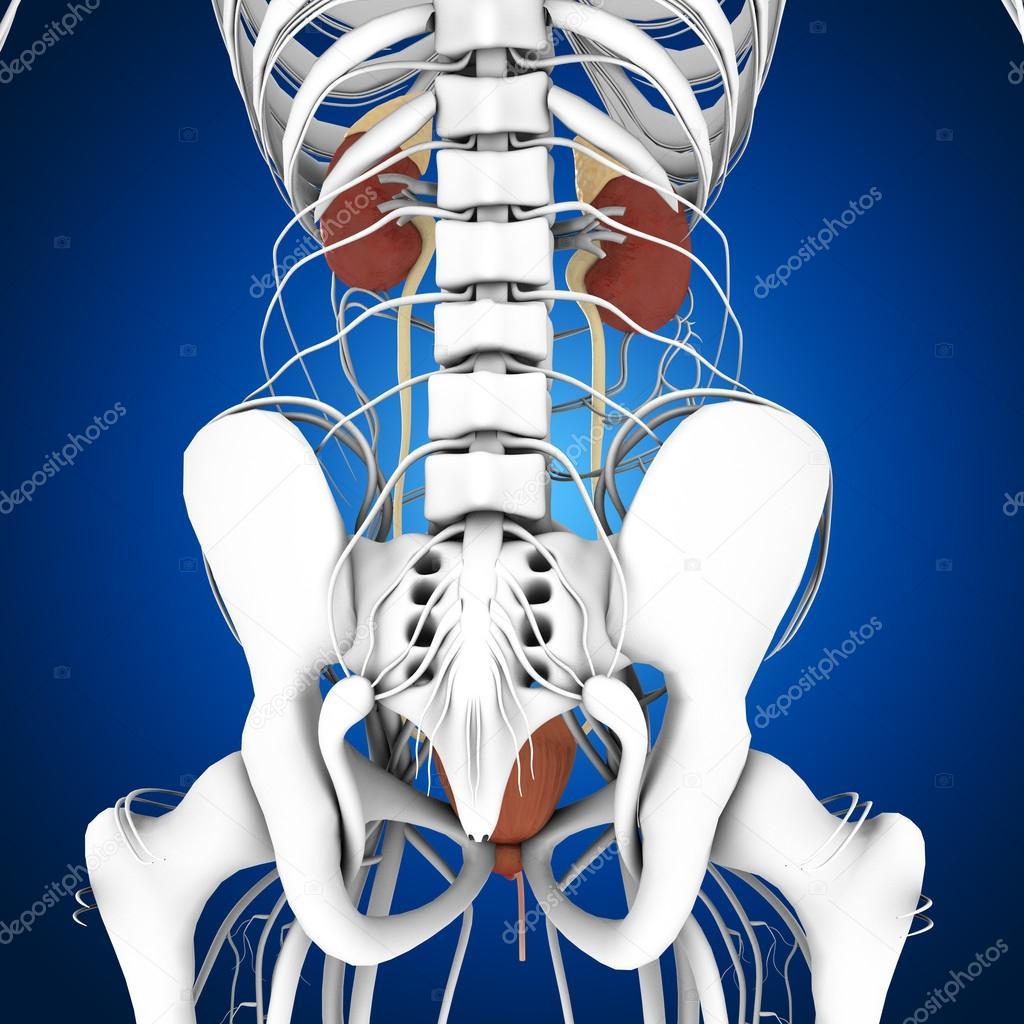 Anatomía de los riñones humanos — Foto de stock © sciencepics #75128753