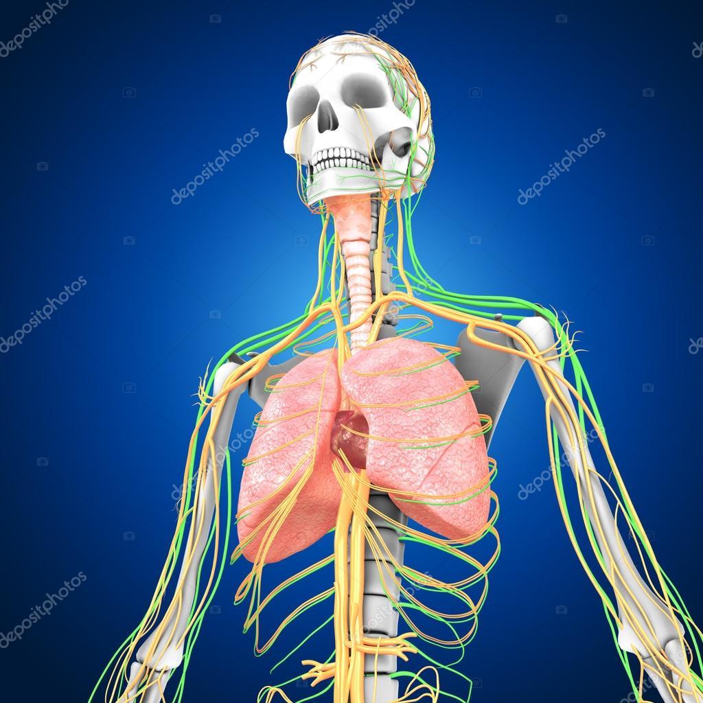 Lunge mit Herz Anatomie — Stockfoto © sciencepics #75128861