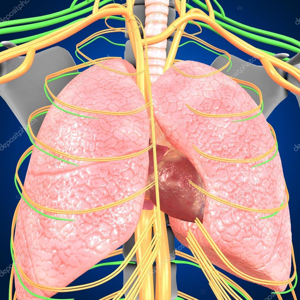 Pulmones con la anatomía del corazón — Foto de stock © sciencepics ...