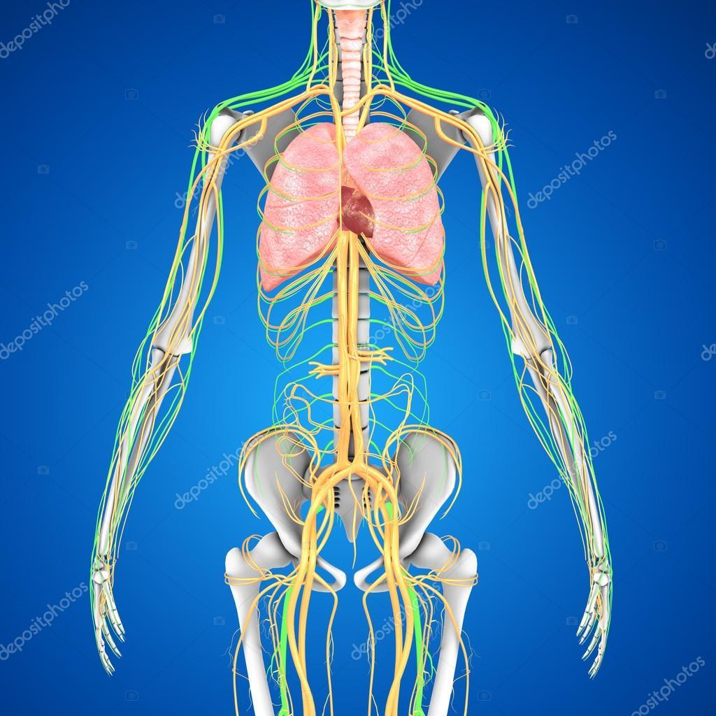 Pulmones con la anatomía del corazón — Fotos de Stock © sciencepics ...