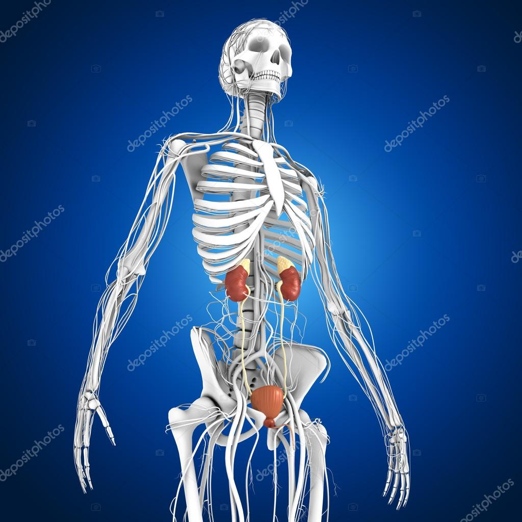 Human Kidneys Anatomy Stock Photo Sciencepics 75128953