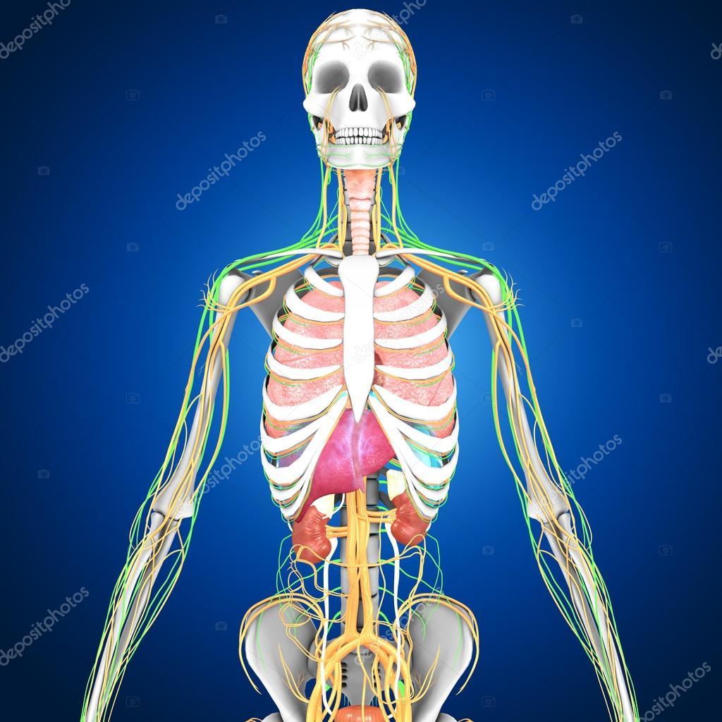 Anatomie der menschlichen Organen — Stockfoto © sciencepics #75129005