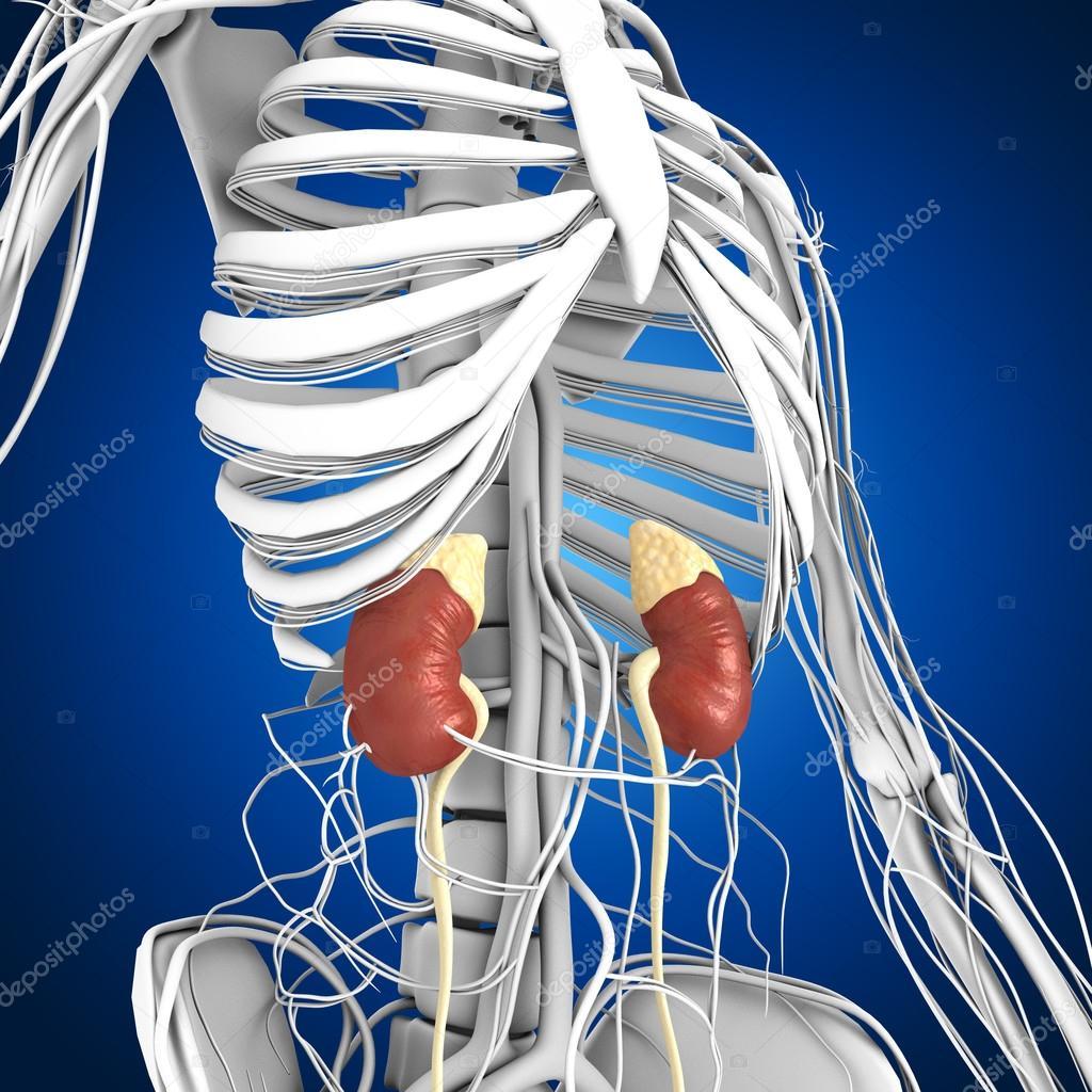 Anatomía de los riñones humanos — Fotos de Stock © sciencepics #75129007