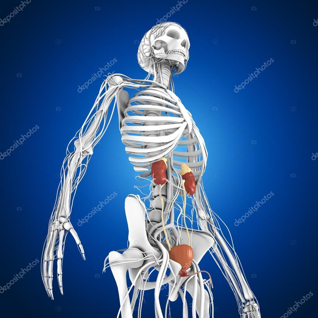 Anatomía de los riñones humanos — Fotos de Stock © sciencepics #75129025