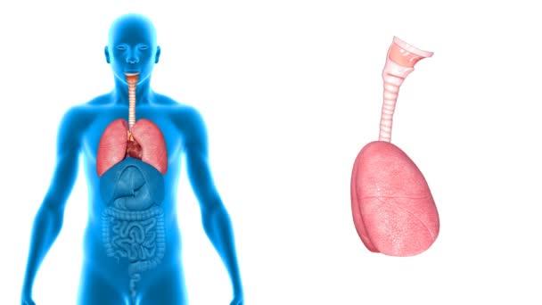 Plíce se srdcem Lékařská věda animace