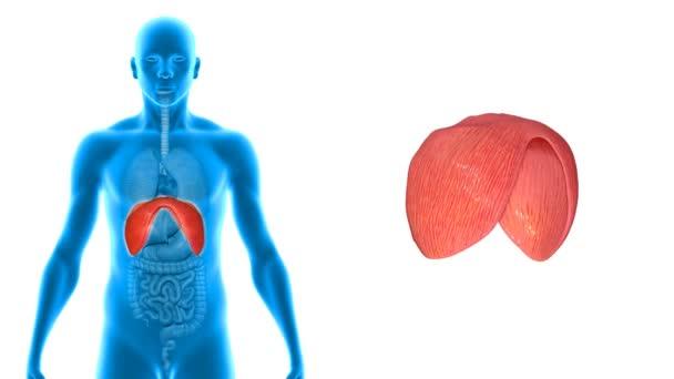 Diaphragm medicine science animation