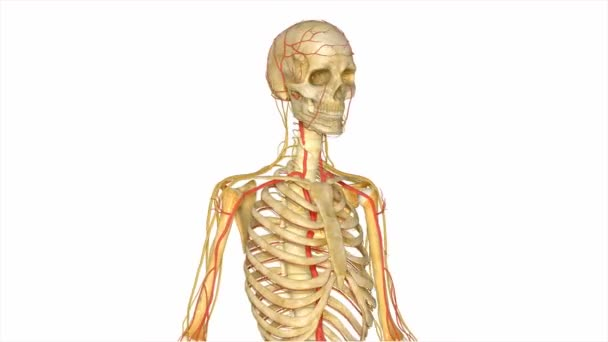 Skeleton with nerves and arteries