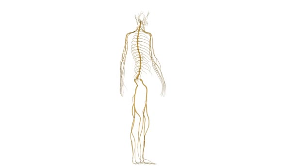 Skeleton with nerves medicine science animation