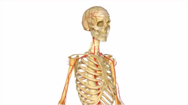 Skelett mit Arterien-system — Stockvideo © sciencepics #76268013