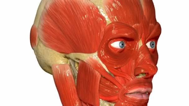 Gesicht Muskeln Medizin Wissenschaft animation — Stockvideo ...