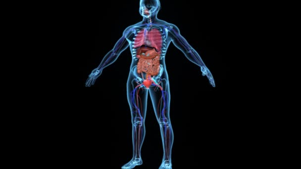 Body with organs medicine science animation