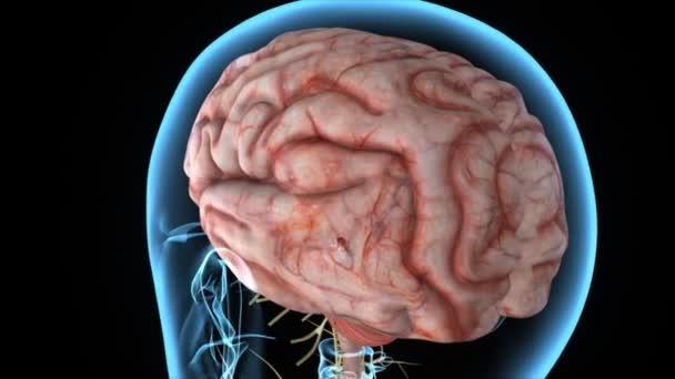Mozku Lékařská věda animace