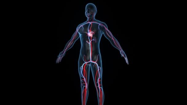 Humanes Herz Medizin Wissenschaft Animation