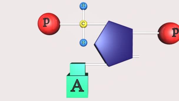 Animation der Polynukleotidkette