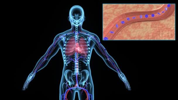 Anatomía humana sangre desoxigenada — Vídeo de stock © sciencepics ...