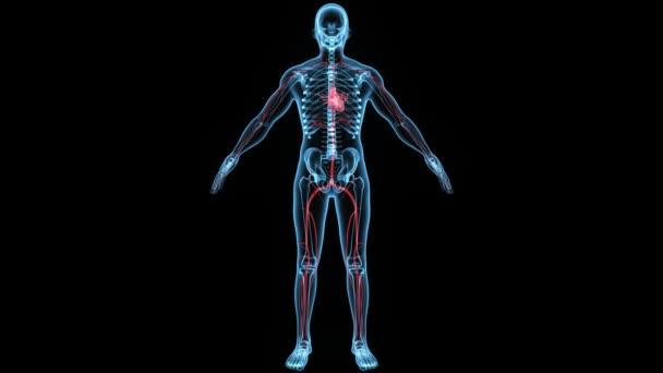 menschlichen Kreislaufsystems — Stockvideo © sciencepics #76603181