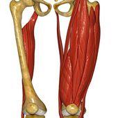 Stehenní svaly, anatomie člověka