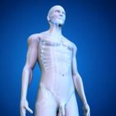 Human Skeleton on blue