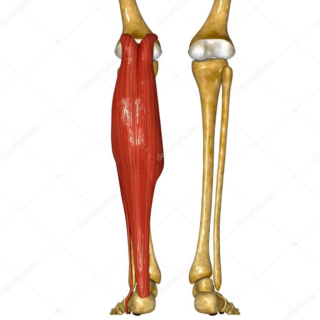 Músculos de la Tibia y peroné — Fotos de Stock © sciencepics #76745687