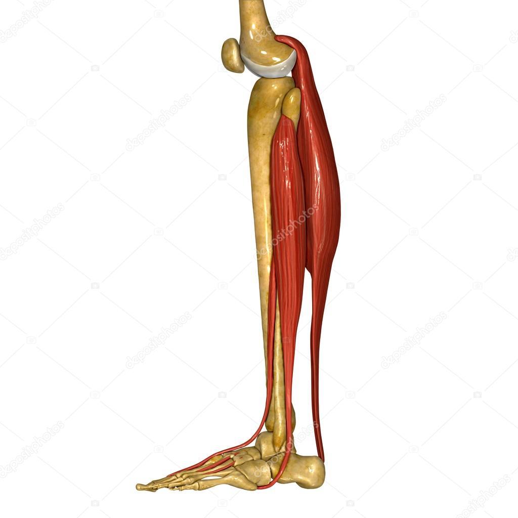 Músculos de la Tibia y peroné — Foto de stock © sciencepics #76745689
