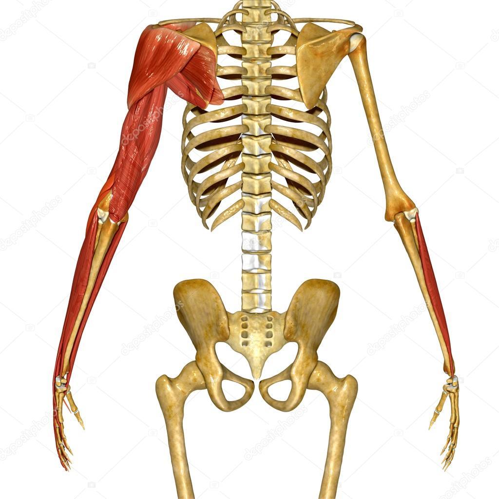 Músculo de la mano, anatomía humana — Foto de stock © sciencepics ...