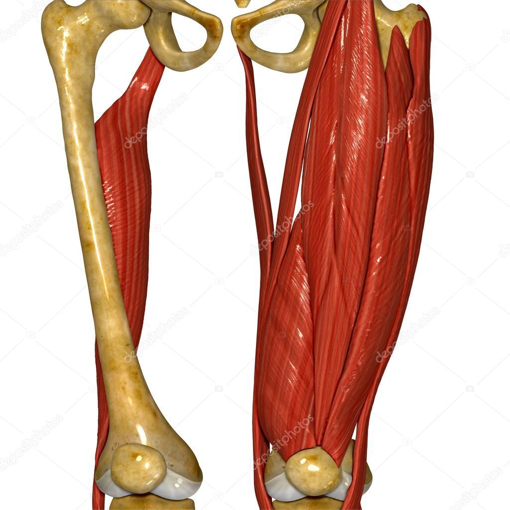 Músculo del muslo, anatomía humana — Foto de stock © sciencepics ...