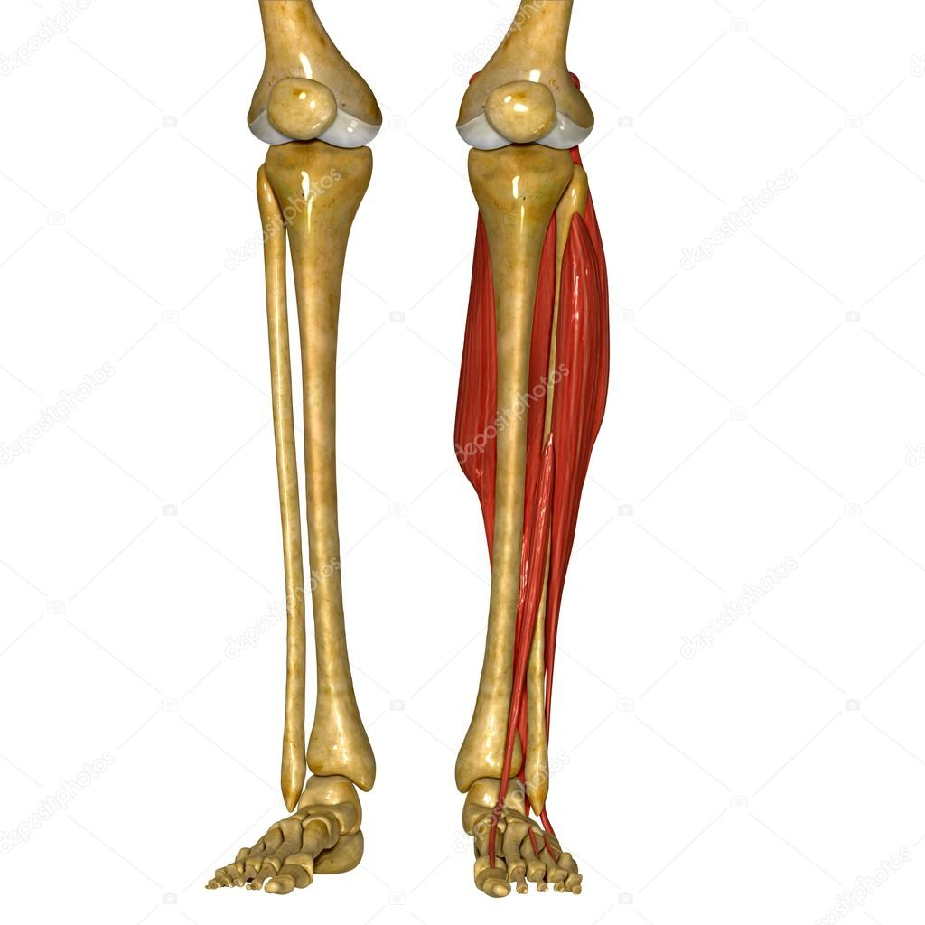 Fibula and Tibia Muscles — Stock Photo © sciencepics #76745733