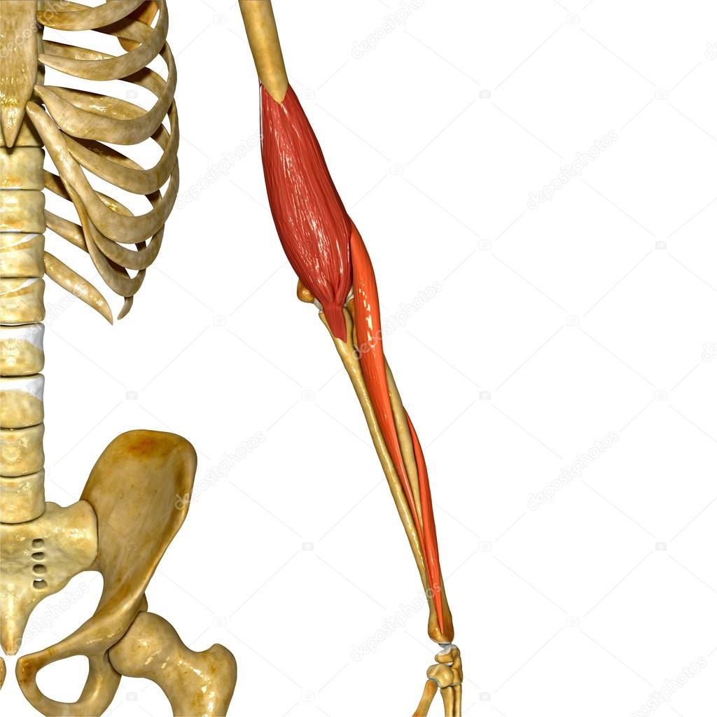 Hand-Muskel, menschliche Anatomie — Stockfoto © sciencepics #76745817