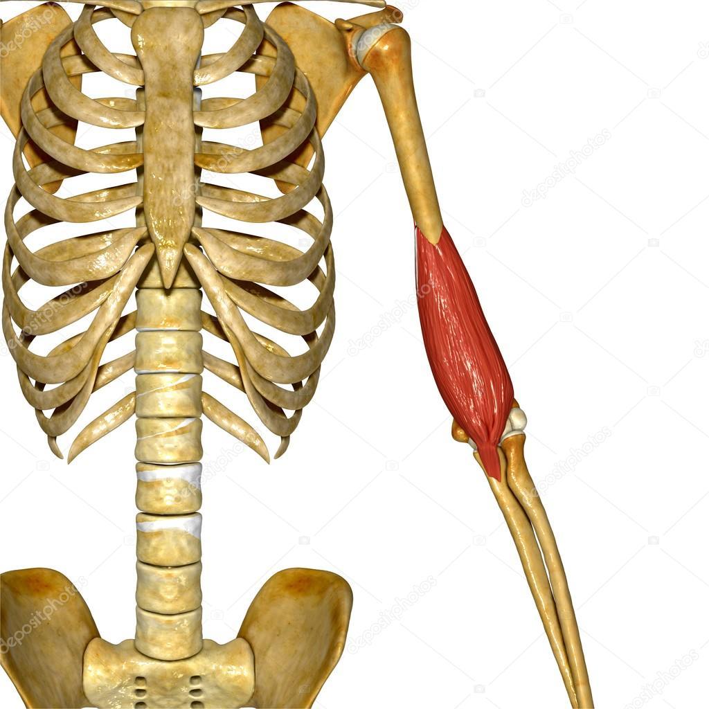 Hand-Muskel, menschliche Anatomie — Stockfoto © sciencepics #76745825