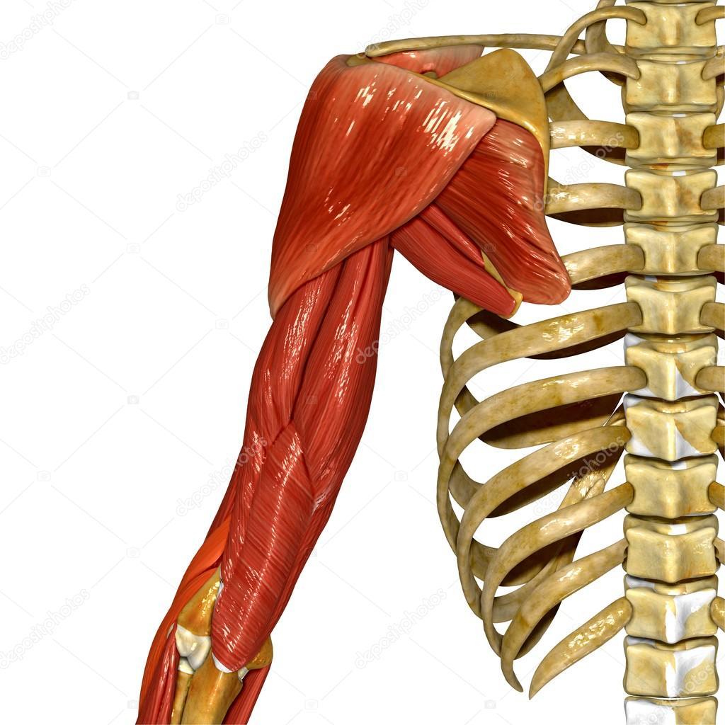 Músculos del hombro, anatomía humana — Fotos de Stock © sciencepics ...
